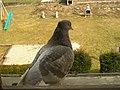 Pigeon sauvage (Feral pigeon) (2).jpg