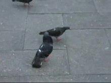 File:Pigeondance.ogv