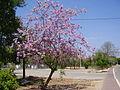 PikiWiki Israel 19366 Bauhinia variegata in Neve-Yamin.JPG