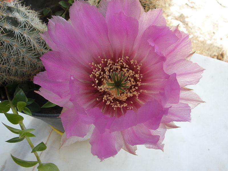 פרחי קקטוס ביתי