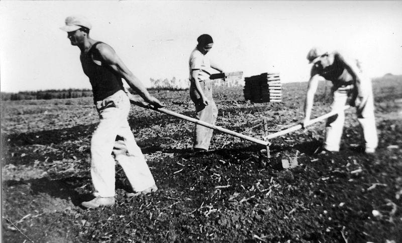 גן-שמואל-זריעת תפוחי אדמה 1937