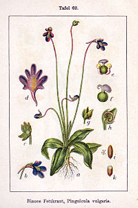 Pinguicula vulgaris Sturm62