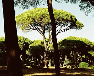 Plinian eruption - A Stone Pine, the type of tree used by Pliny to describe the eruption.