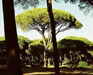 Stone pine species of plant, Stone Pine
