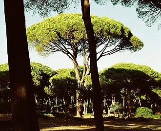 Stone pine - Stone pine forest  Costa de la Luz, Spain