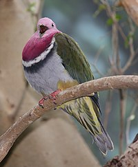 Pink-headed Fruit Dove 001