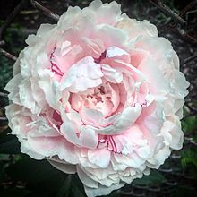 Pink fully grown Peony.jpg