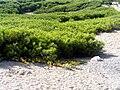 Pinus ParquedelasDunasTorrelaMata.jpg