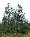 Pinus attenuata BLM1.jpg