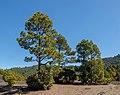 Pinus canariensis - Llano del Jable - La Palma 01.jpg