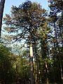 Pinus nigra (subsp. nigra) sl2.jpg