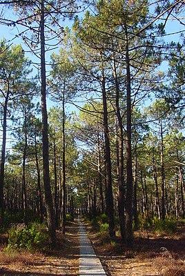 See-Kiefer (Pinus pinaster)