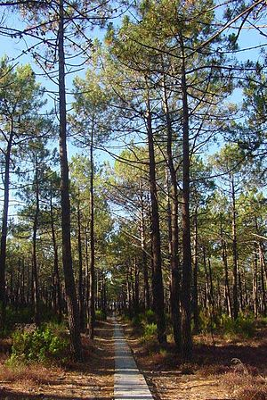 Landes forest - A stand of Pinus pinaster