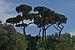 Pinus pinea Borghese.jpg