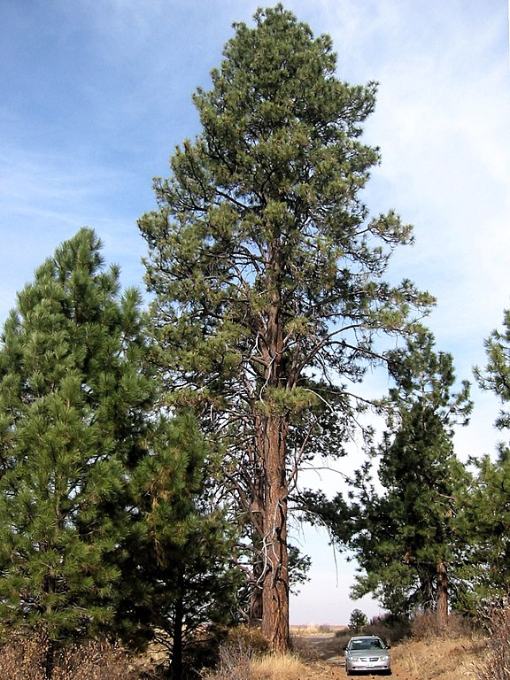 File pinus ponderosa wikimedia commons for Mature pine trees