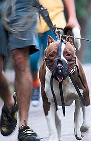 A Pit Bull muzzled.