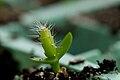 Pitaya (seedling).jpg