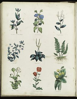 Plants and herbs from Culpeper's 'The Complete Herbal...' Wellcome L0034813