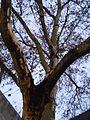 Platanenpilz an Astgabel von befallener, seit vielen Jahren standfester Platane, Marburg Universitätsstraße 2017-01-04.jpg