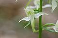 Platanthera chlorantha 8.jpg