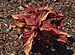Plectranthus 'Summertime Wine' Foliage.JPG