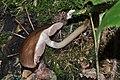 Pluteus cervinus qtl1.jpg