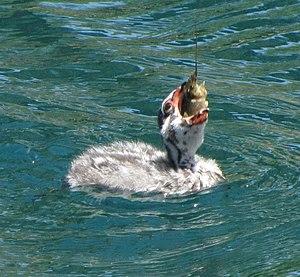 English: Pied-billed grebe chick (Podilymbus p...