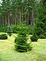 Podlaskie - Suprasl - Kopna Gora - Arboretum - Picea orientalis 'Aurea' - plant.JPG