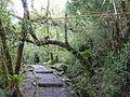 Podocarpus Ecuador209.JPG