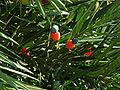 Podocarpus K3.jpg