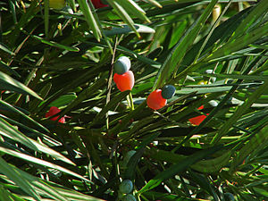 Podocarpus macrophyllus - Image: Podocarpus K3
