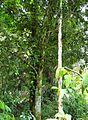Pohon cempedak (4).JPG