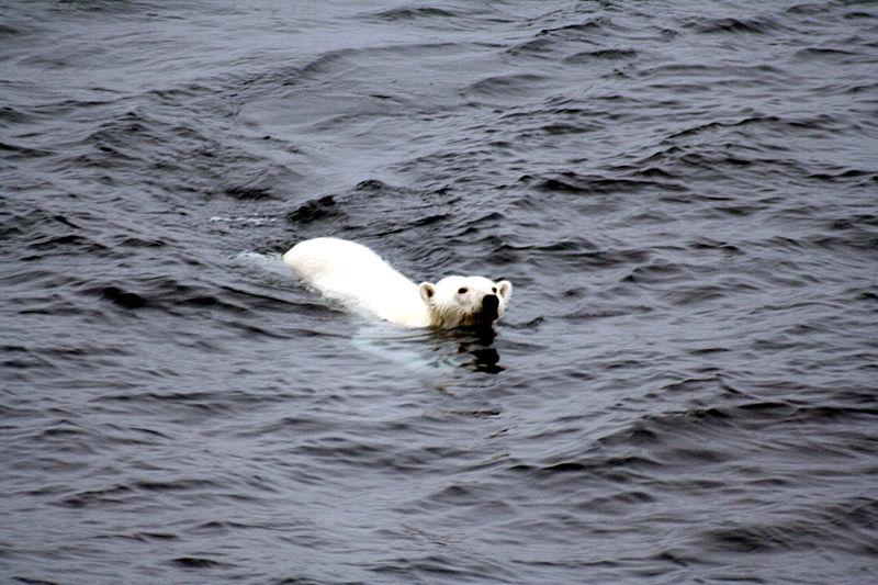 Polar bear arctic.JPG