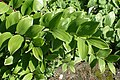 Polygonatum odoratum var. pluriflorum 'Variegatum' kz01.jpg