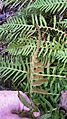 Polypodium glycyrrhiza sori (licorice fern) - Flickr - brewbooks.jpg