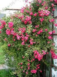 Popínavá růže.jpg