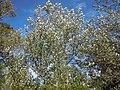 Populus alba (5001210193).jpg