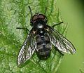 Portevinia maculata (Ramsons Hoverfly) - male - Flickr - S. Rae.jpg