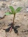 Portulaca oleracea sprout.jpg