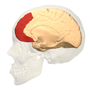 Prefrontal cortex - Image: Prefrontal cortex (left) medial view