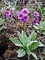 Primula cusckiana plant in SW Idaho.jpg