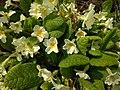 Primula vulgaris 126663848.jpg