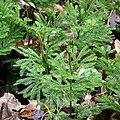 Princess Pine - Flickr - treegrow.jpg