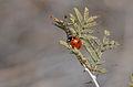 Prosopis farcta - Syrian mesquite 02.JPG