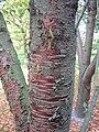 Prunus-maackii-bark1.jpg