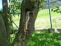 Prunus domestica uszk.jpg