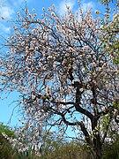 Prunus dulcis 001.JPG
