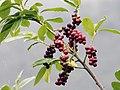 Prunus laurocerasus - Taflan, Giresun 2017-07-05 01-2.jpg