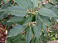 Prunus lusitanica kz2.JPG