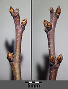 Śliwa tarnina nasion (Prunus spinosa)